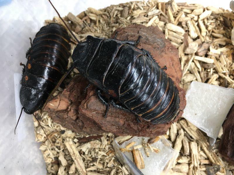 画像1: マダガスカルヒッシングローチ(フルーツゴキブリ)[ペア] (1)