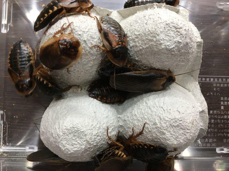 画像1: デュビア成虫約25匹(カップ入り) (1)