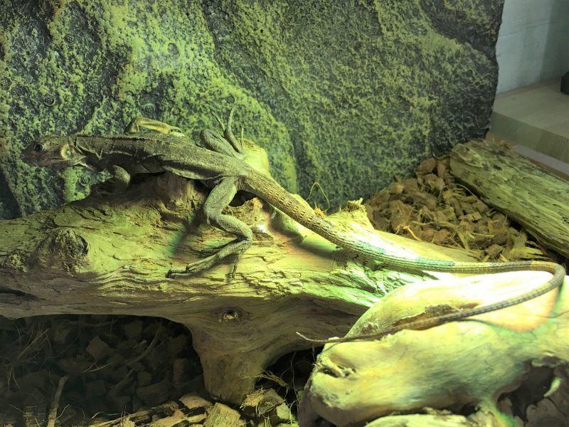 画像1: ツナギトゲオイグアナ (1)